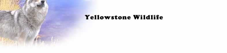 Animals Of The Greater Yellowstone Region