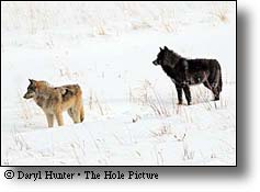 two yellowstone wolves