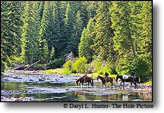 Pack Trip, horses crossing slough Creek, Yellowstone National Park