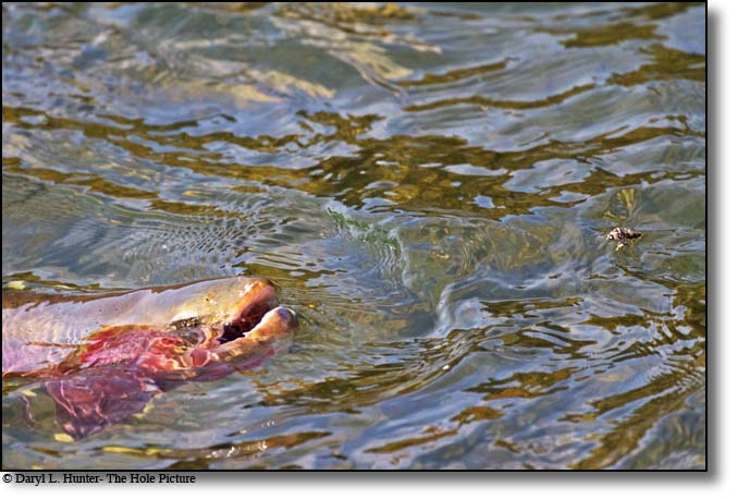 Snake River cutthroat trout rising for a salmon fly on the south fork of the snake river in Swan Valley, Idaho