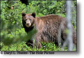 Black Bear, cinnimon, Grand Teton National Park, Wyoming, Jackson Hole