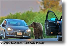 Grizzly bear, in road, Jackson Hole, Wyoming, widlife