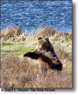 threatening Grizzly Bear