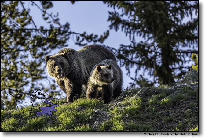 Grizzly Bear and cub, Jackson Hole, Wyoming, Bridger Teton National Forest