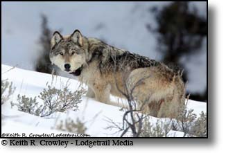 grey wolf, yellowstone, Keith Crowley