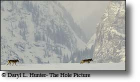 Two Wolves, Grand Tetons, Jackson Hole, Wyoming, wildlife, greater yellowstone