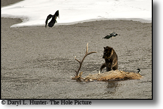 Black wolf, elk carcass, lamar valley, Yellowstone National Park