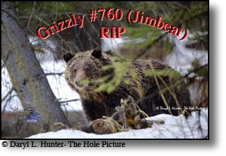 grizzly 760 (Jim Bear) six months before he was killed by Wyoming Game and Fish