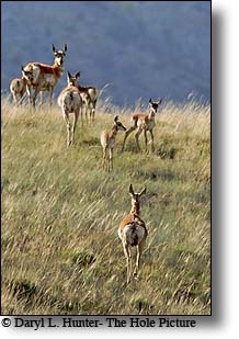 pronghorn herd, south fork shoshone valley, Absaroka Mountains, Cody Wyoming